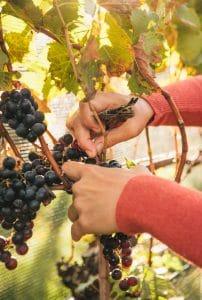 shinn_vineyards_011